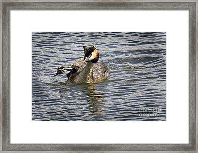 Great Crested Grebe Framed Print by Inge Riis McDonald