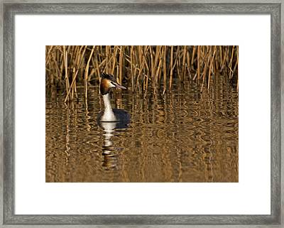 Framed Print featuring the photograph Great Crested Grebe by Paul Scoullar