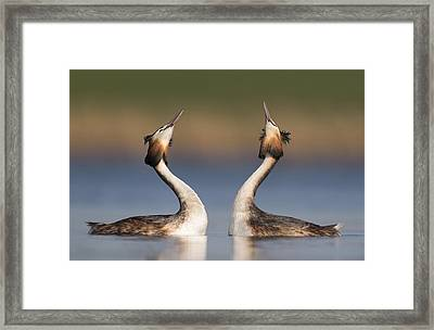 Great Crested Grebes Courting Framed Print