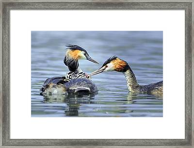 Great Crested Grebes Framed Print