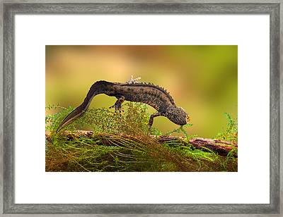 Great Crested New Or Water Dragon Framed Print by Dirk Ercken