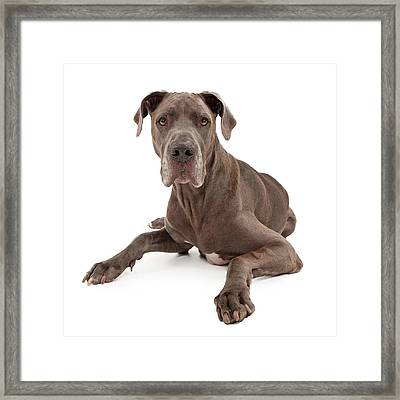 Great Dane Dog Isolated On White Framed Print by Susan Schmitz