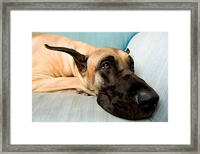 Great Dane Dog On Sofa Framed Print by Lanjee Chee