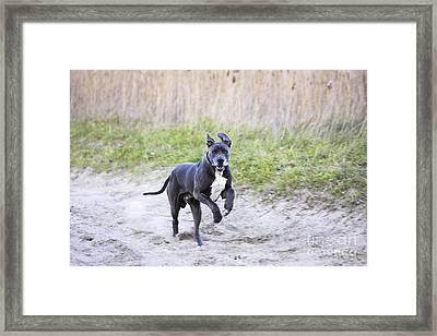 Great Dane Framed Print