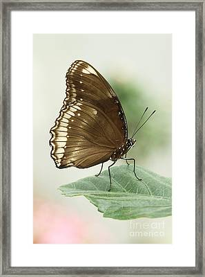 Great Eggfly Butterfly Framed Print by Judy Whitton