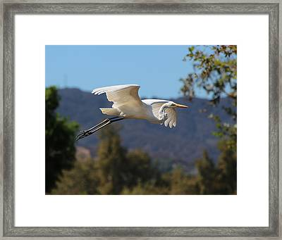 Great Egret 11x14 Framed Print