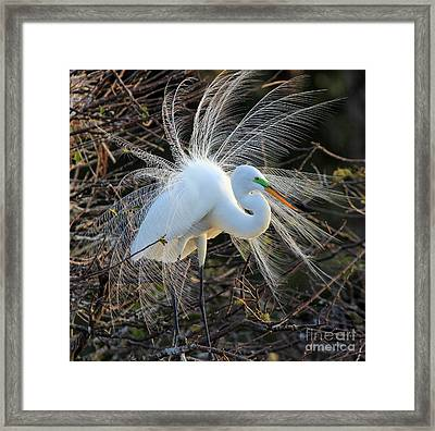 Great Egret Show Off Framed Print