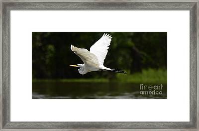 Great Egret Amazon River Framed Print