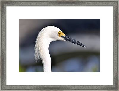 Great Egret Framed Print by Andres LaBrada