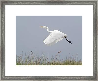 Great Egret Ardea Alba In Flight Framed Print