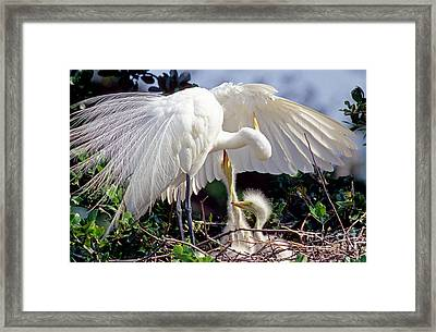 Great Egret Ardea Alba In Nest Framed Print by Millard H. Sharp