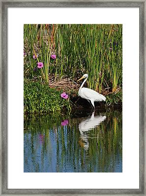 Great Egret (ardea Alba Framed Print by Larry Ditto
