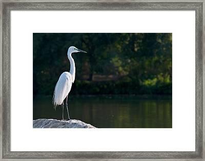 Great Egret At Water's Edge Framed Print by K Jayaram