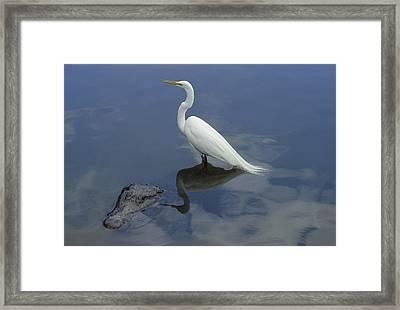 Great Egret Atop American Alligator Framed Print