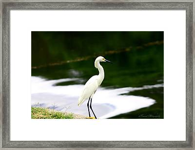 Great Egret Framed Print by Debra Forand