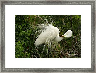 Great Egret Displaying Framed Print by Jennifer Zelik