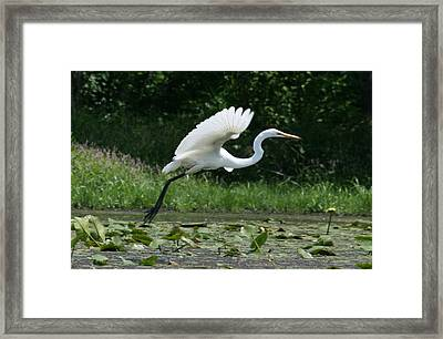 Great Egret Elegance   Framed Print