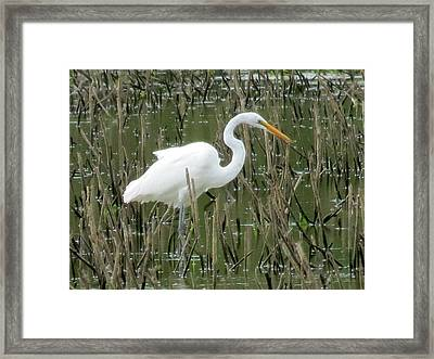 Framed Print featuring the photograph Great Egret by Eric Switzer