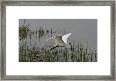 Great Egret Flying Framed Print by Dan Sproul
