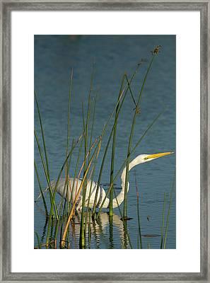 Great Egret Hunting For Its Food Framed Print