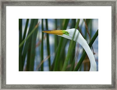 Great Egret Hunting In Soft Stem Framed Print