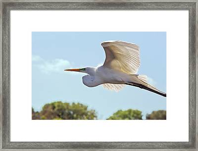 Great Egret In Flight Framed Print