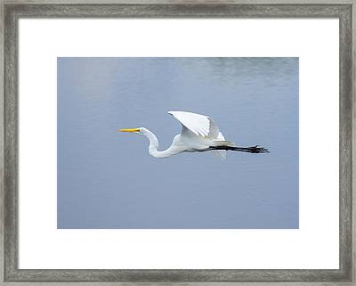 Framed Print featuring the photograph Great Egret In Flight by John M Bailey