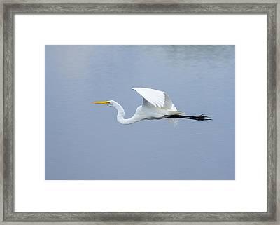 Great Egret In Flight Framed Print by John M Bailey