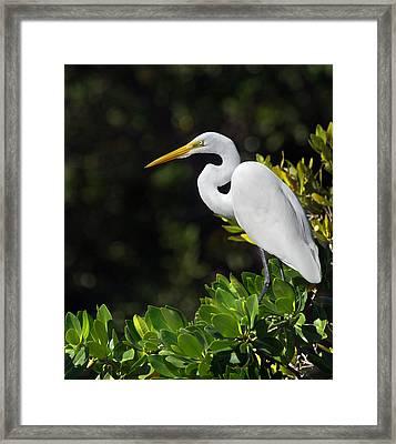 Great Egret In The Florida Everglades Framed Print by Mr Bennett Kent