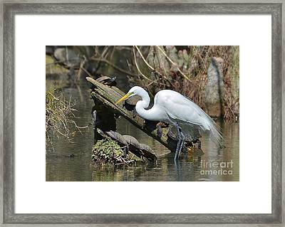 Great Egret In The Swamps Framed Print