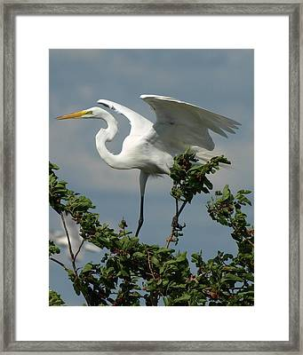 Great Egret Framed Print by James Peterson