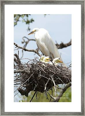 Great Egret Nest With Chicks And Mama Framed Print by Carol Groenen