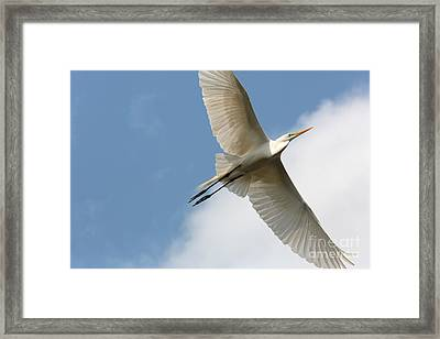 Great Egret Overhead Framed Print by Carol Groenen