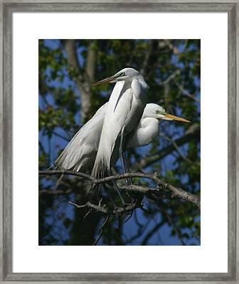 Great Egret Pair 11x14 Framed Print by David Lynch