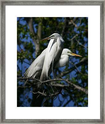 Great Egret Pair 16x20 Framed Print by David Lynch