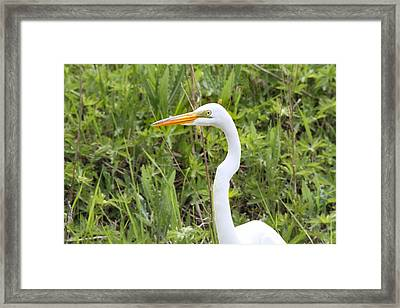 Great Egret Portrait Framed Print by Dan Sproul