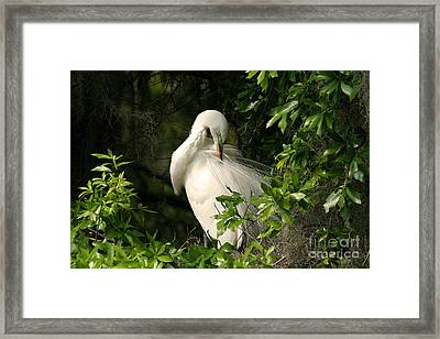 Great Egret Preen Framed Print by Jennifer Zelik