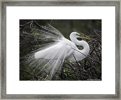 Great Egret Preening Framed Print