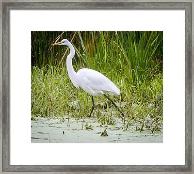 Great Egret Framed Print by Ricky L Jones