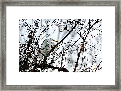 Great Egret Roosting In Winter Framed Print
