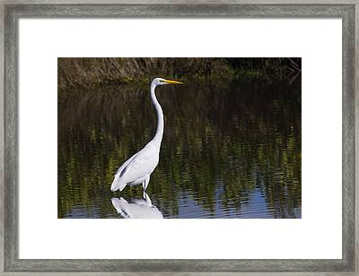 Great Egret Standing Out Framed Print by John M Bailey