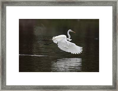 Great Egret Takeoff Framed Print by Gary Langley