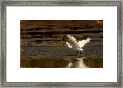Great Egret Taking Off Framed Print