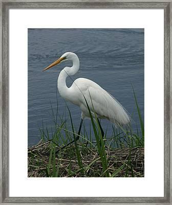 Great Egret Walking 11x14 Framed Print by David Lynch