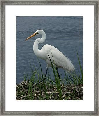 Great Egret Walking 16x20 Framed Print by David Lynch