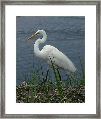 Great Egret Walking 8x10 Framed Print by David Lynch