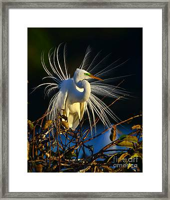 Great Egret With Breeding Plumage 1 Framed Print