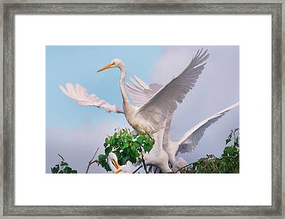 Great Egrets Parents And Young (ardea Framed Print