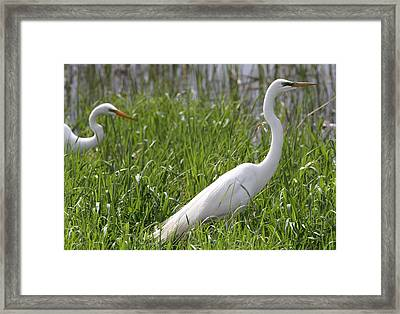 Great Egrets Stalking Magee Marsh Framed Print by Dan Sproul
