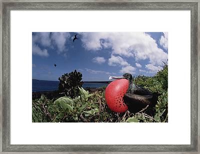 Great Frigatebird Male Displaying Framed Print by Tui De Roy